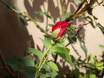 ROSE Bud. Red Rose just popped out from the bud Royalty Free Stock Photos
