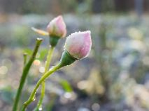 Rose bud with rime frost. Pink rose buds covered with rime frost Royalty Free Stock Photos
