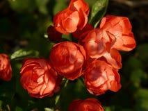 Rose Bud, Rose Flower, Rose Royalty Free Stock Photo
