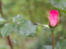 Rose bud Stock Photography
