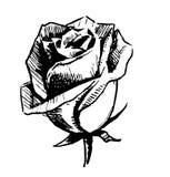 Rose bud sketch illustration Stock Image