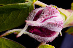 Rose bud with small water drops on it Royalty Free Stock Photography