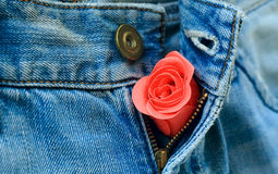 A rose bud in unzipped jeans Royalty Free Stock Image