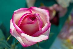 Rose Bud-wit met roze kleurenclose-up royalty-vrije stock fotografie