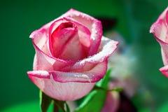 Rose Bud-wit met roze kleurenclose-up royalty-vrije stock foto