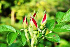 Rose Buds Photos libres de droits