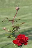 Rose with buds. Scarlet rose-classical a declaration of love and tendernesses Stock Photography