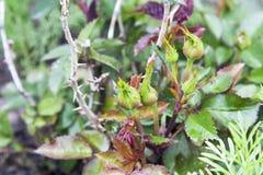 Rose Buds Images libres de droits