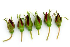 Rose buds Royalty Free Stock Images