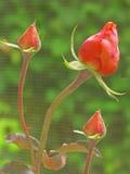 Rose Buds fotografia de stock