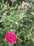 Rose Buds fotografie stock