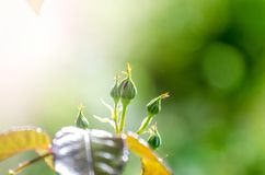 Rose buds in a close view Stock Image
