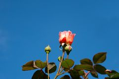Rose and buds with copy space around Stock Photography