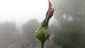 rose buds with dew water drops rain fog close up micro fresh Royalty Free Stock Photo