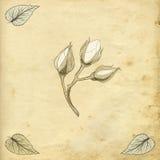 Rose buds drawing Stock Image