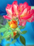 Rose  with buds in the spring garden. Splendid and romantic flowers Royalty Free Stock Photography