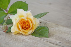 Rose buff beauty peach and apricot on an old wooden board Stock Image