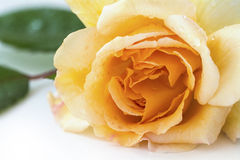 Rose buff beauty, soft peach and apricot Stock Image