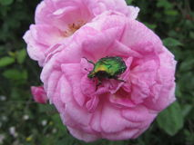 Rose with bug. This is a rose with bug inside of it. It is daytime Royalty Free Stock Images