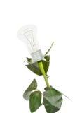 Rose bulb Stock Image