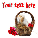 Rose-bunny. Cute baby bunny in a basket filled with hay and red roses isolated on white for conceptual post cards for holidays, birthday or get well soon Stock Photos
