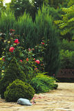 Rose bush. In the garden Royalty Free Stock Photography