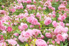 Rose bush. Pink rose bush, english roses in a field stock photos