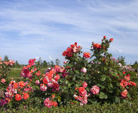 Rose bush. In summer day Stock Images