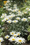 Chamomile garden is gro wing in the flawer bed. Chamomile garden and yellow flowers  is gro wing in the flawer bed Stock Photography