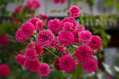 Rose bush. Beautiful pink rose bush in a garden Royalty Free Stock Photos