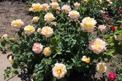 Rose bush in bloom. Rose bush in full bloom Peace cultivar stock images