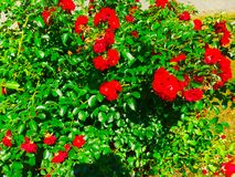 Rose Bush. A blooming rose bush Royalty Free Stock Photography