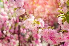 A rose bush blooms in the spring with pink flowers. natural wallpaper. background for design. Cherry Sakura royalty free stock photo