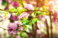 A rose bush blooms in the spring with pink flowers. natural wallpaper. background for design. Cherry Sakura royalty free stock images