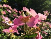 Rose Bush Blossoming met Roze Bloemen royalty-vrije stock afbeelding