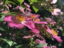 Rose Bush Blossoming met Roze Bloemen royalty-vrije stock foto