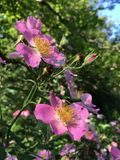 Rose Bush Blossoming met Roze Bloemen royalty-vrije stock fotografie