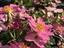 Rose Bush Blossoming met Roze Bloemen stock fotografie