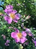 Rose Bush Blossoming met Roze Bloemen royalty-vrije stock afbeeldingen
