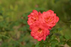 Rose bush in botanical garden royalty free stock photos