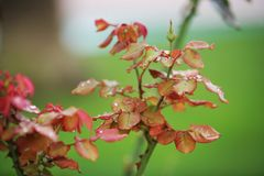 rose bush with bud stock images