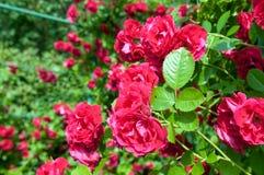 Rose bush Royalty Free Stock Images