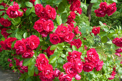 Rose bush Stock Image