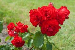 Rose bush. Closeup of rose bush flower in garden Stock Image