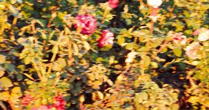 Rose bush covered with dying autumn roses of red color stock video footage
