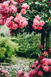 Rose bush espalier blooming in red and pink colours in the garde. Rose bush espalier blooming bright in red and pink colours in the garden Stock Image