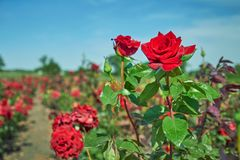 Rose bush on the field under the open sky stock photos