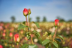 Rose bush on the field under the open sky royalty free stock images