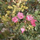 Rose bush floribunda – pink - Macea dendrological park - situated in the Arad county - Romania. Floribunda Latin for `many-flowering` is a modern group of royalty free stock photo