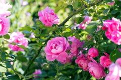 Rose Bush floribunda. Pink Bush floribunda blooms in summer stock images